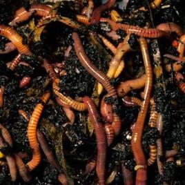 Kompost-orm