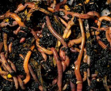 Kompostorm og Øko-gødning